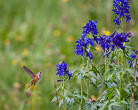 While hiking toward the top of Yankee Boy Basin, we heard a metallic chirping and whirring sound.  Familiar with hummingbirds in Texas, we looked around and soon saw several of them enjoying the wildflowers!  <br /> <br /> Canon EOS 5D, 70-200 f/2.8L lens with 1.4x teleconverter
