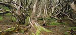 Twisted Rata tree trunks in the Auckland Islands. New Zealand Sub-Antarctic Islands.