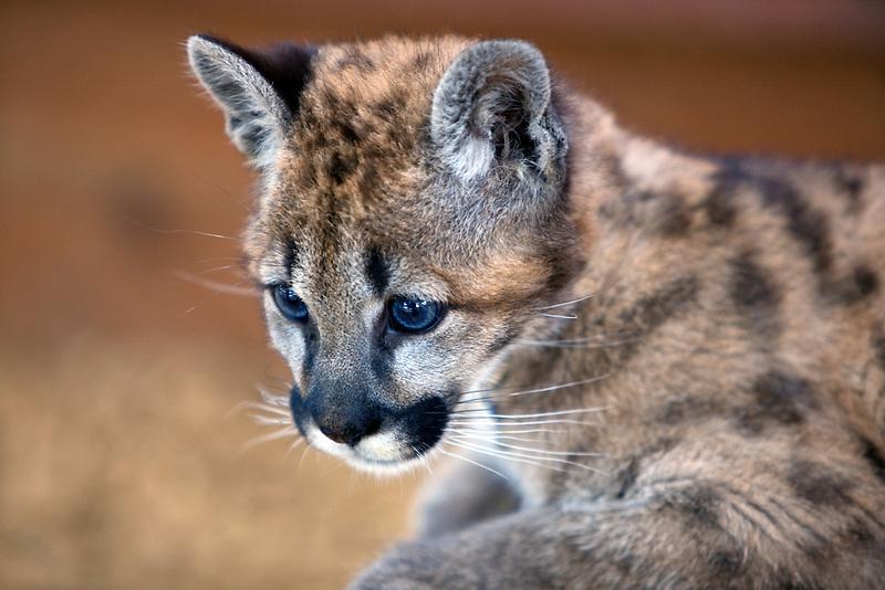 Five week old cougar. West Coast Game Park, Oregon