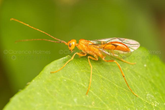 An Aulacid Wasp (Aulacus burquei)