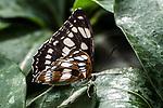 rice paper butterfly feeding on green leave wings folded up showing underside