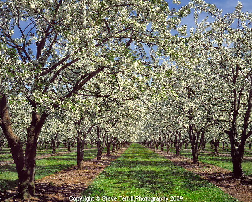Rows of cherry trees in Marion County Oregon