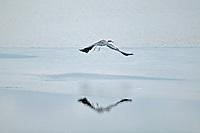Great Blue Heron in flight. Lower Klamath Fall National Wildlife Refuge. California