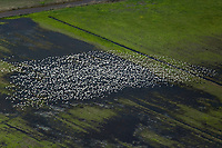 aerial photograph of wintering snow geese in the Sacramento Valley, California