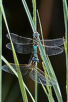 339300014 wild male and female california darners rhionaeschna californica  perch on a plant stem while in copula in inyo county caliifornia