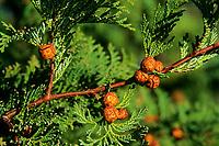 Hinoki-Scheinzypresse, Hinoky-Scheinzypresse, Muschel-Zypresse, Feuer-Scheinzypresse, Ast mit Zapfen, Chamaecyparis obtusa, Cupressus obtusa, Japanese cypress, hinoki cypress, Zypressengewächse, Cupressaceae