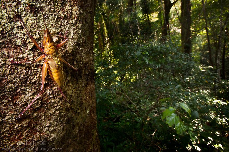 Tropical Katydid {Tettigoniidae} on trunk in rainforest canopy. Masoala Peninsula National Park, north east Madagascar.