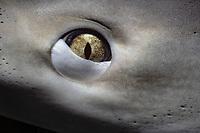 eye of Caribbean reef shark, Carcharhinus perezii, showing nictating membrane closing to protect eye, Bahamas, Caribbean Sea, Atlantic Ocean