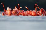 American Flamingo (Phoenicopterus ruber) courtship. Yucatan, Mexico.
