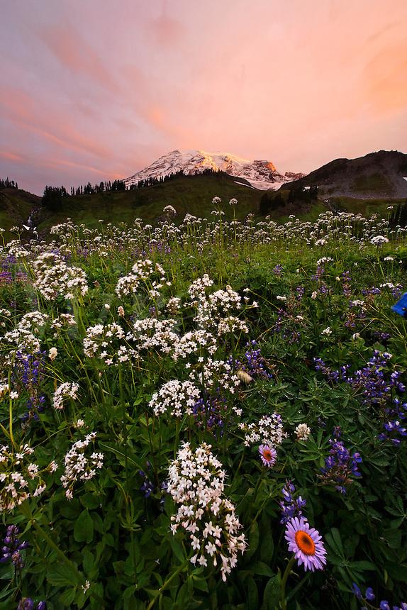 Wildflower meadow below Mount Rainier at sunrise, Edith Creek Basin, Mount Rainier National Park, Washington, USA