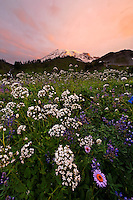 Wildflower meadow below Mount Rainier at sunrise, Edith Creek Basin, Mount Rainier National Park, Washington, USA