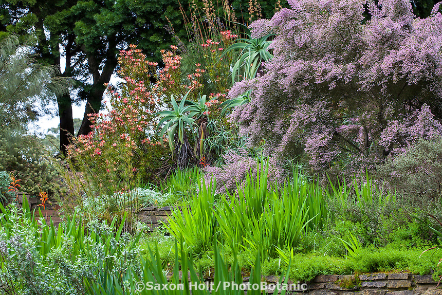 Flowering winter shrubs, Erica canaliculata and Leucadendron 'Safari Sunset' for summer-dry climates; San Francisco Botanical Garden