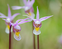 Calypso Orchid or Fairyslipper (Calypso bulbosa) wildflower.  Northern Rocky Mountains.  May-June.