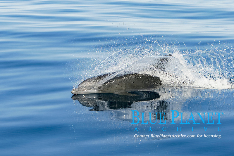 Adult Bottlenose Dolphin, Tursiops truncatus gilli, in the upper Gulf of California, Sea of Cortez, Mexico, Pacific Ocean