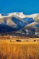 Elkhorn Range in with snow and cattle in pasture. Blue Mountains. Oregon