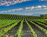 Vineyard, Carneros Appellation, Sonoma County, California