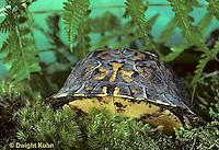 1R44-005x  Eastern Box Turtle - in shell - Terrapene carolina