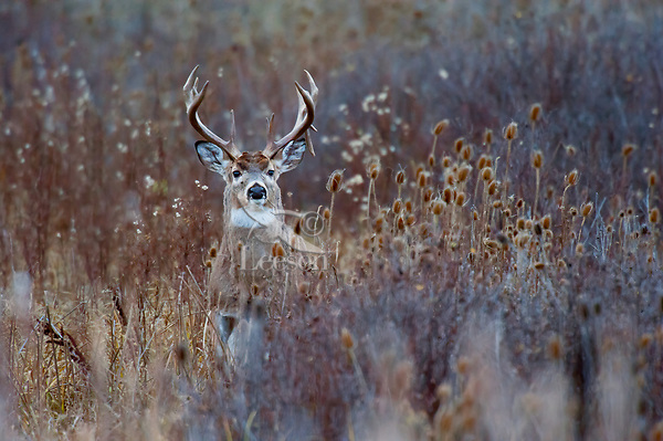 White-tailed Deer Buck (Odocoileus virginianus) in late fall among teasel and cattails.