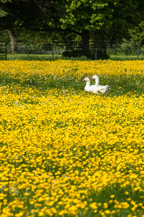 Geese in a field of buttercups, Rousham House and Garden.
