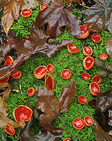 Scarlet cups on moss in Columbia River Gorge Oregon