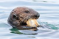 Southern sea otter, or California sea otter, Enhydra lutris nereis, eating clam, Monterey Bay, California, USA, Pacific Ocean