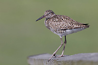 Willet (Tringa semipalmata semipalmata), Eastern subspecies, adult in breeding plumage resting on a boardwalk in a marsh at the Oceanside Marine Nature Study Area in Oceanside, New York.