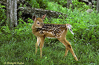 MA11-018z   White-tailed Deer - fawn - Odocoileus virginianus..