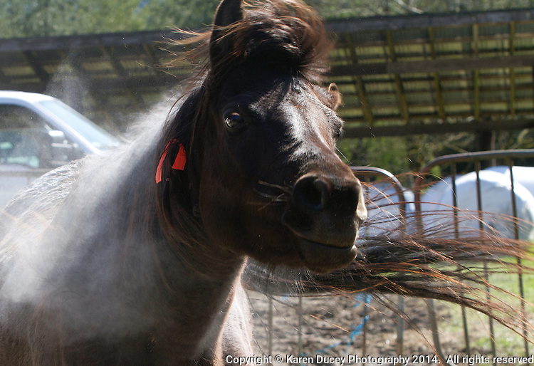 A horse shakes off lice powder after being treated by volunteer veterinarians at Summer Raffo's farm in Oso, Washington on April 1, 2014. Summer Raffo died in the Oso mudslide on March 22, 2014. Vets and volunteers provided the horses with basic medical care, grooming and fresh hay.