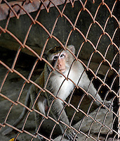 A Long Tailed Macaque monkey at the Conghua Yueyuan Laboratory Animal Breeding Center, Guangdong Province, China. The center breeds monkeys mostly for export to the US and Europe where pharmaceutical and cosmetic companies use them vivisection...SINOPIX PHOTO