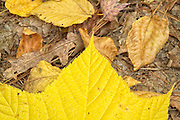 Striped Maple ( Acer pensylvanicum ) leafs from the state of New Hampshire, USA, Which is located in New England