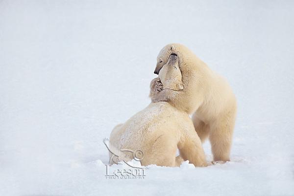 Two Polar Bears (Ursus maritimus) play wrestling.