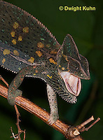 CH51-581z  Female Veiled Chameleon after swallowing prey, Chamaeleo calyptratus
