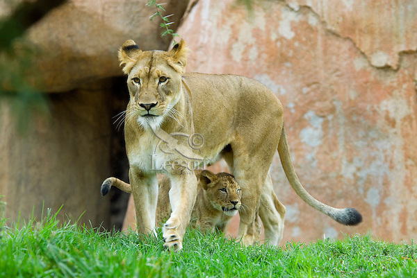 African Lion (Panthera leo) female with young cub.
