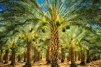 Date palm tree orchard with ripening fruit. Indio, California