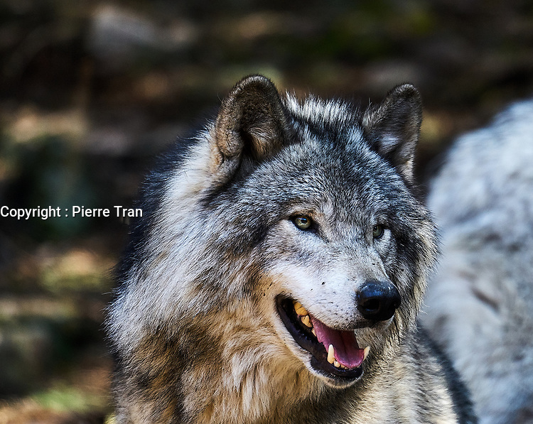Animaux dans la nature a Montreal et les environs, 2021 - loup arctique<br /> <br /> Photo : Pierre Tran - AQP