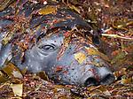 Con-seal me!  Elephant seal hides amongst seaweed by David Higgins
