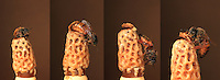 Photo sequence of the birth of a queen.