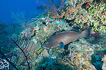 Gardens of the Queen, Cuba; a Black Grouper fish with dark, nearly solid patterning hiding amongst the coral reef