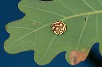 Gestreifte Eichengallwespe, Eichengallen, Eichengalle, Eichen-Gallen, Eichen-Gallwespe, Gallwespe, Gallen, Galle an den Blattunterseiten einer Eiche, Cynips longiventris, Synonym: Diplolepis longiventris, Striped-pea Gall Causer