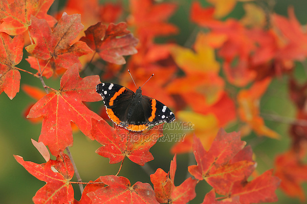 Red Admiral (Vanessa atalanta), perched on Bigtooth Maple (Acer grandidentatum), Lost Maples State Park, Hill Country, Central Texas, USA