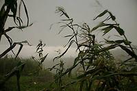 Corn stalks blowing in  the  winds of a thunderstrom near Chudja mine.