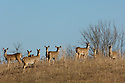 00275-193.15 White-tailed Deer (DIGITAL) group of does and fawns are on hill side in field or meadow during fall.  H1E