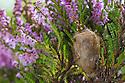 Emperor Moth cocoon {Saturnia pavonia} in Ling Heather {Calluna vulgaris}. Peak District National Park, Derbyshire, UK. August.