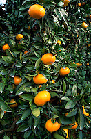 Close up of Japanese tangerines (mikan) growing in an orchard. Japan.