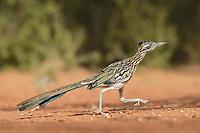 Greater Roadrunner (Geococcyx californianus), adult running, Rio Grande Valley, South Texas, Texas, USA