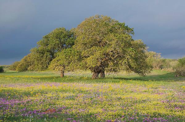 Live Oak (Quercus virginiana) Squaw Weed (Senecio ampullaceus) and Pointed Phlox (Phlox cuspidata), Stockdale, Wilson County, Texas, USA, March 2007