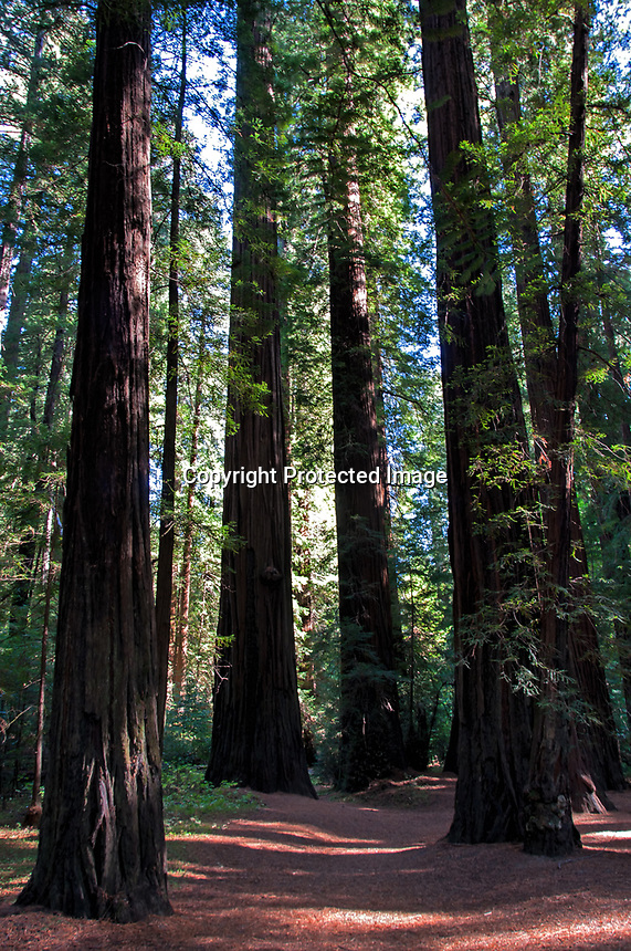 A beautiful day in the fall at Humbolt Redwood State Park, California. At Bolling Grove.