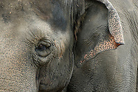 Indian or Asian Elephants (Elephas maximus)