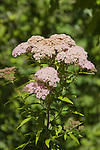 SPIRAEA SP. FROM CHINA