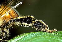1B07-001d   Honeybee leg showing empty pollen basket - Apis mellifera